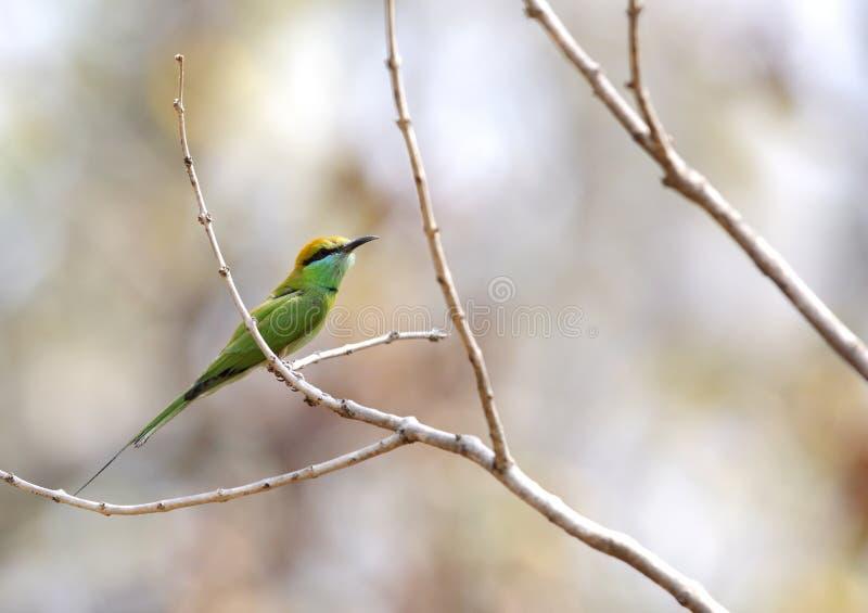 Groene bij-eter in Pench Tiger Reserve stock foto's