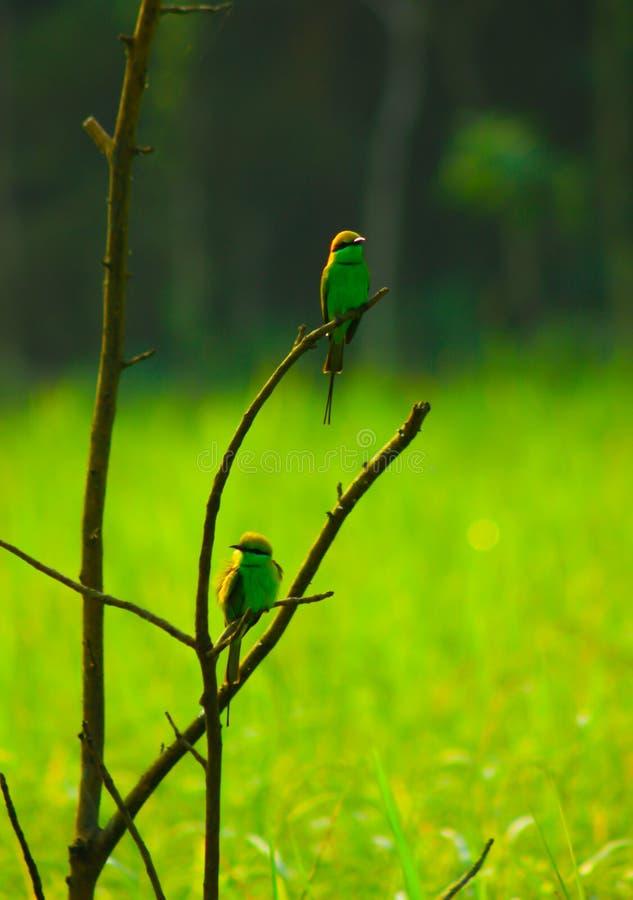 Groene Bijeneter - 2 royalty-vrije stock afbeeldingen