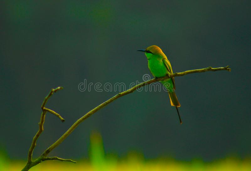 Groene Bijeneter - 3 stock foto