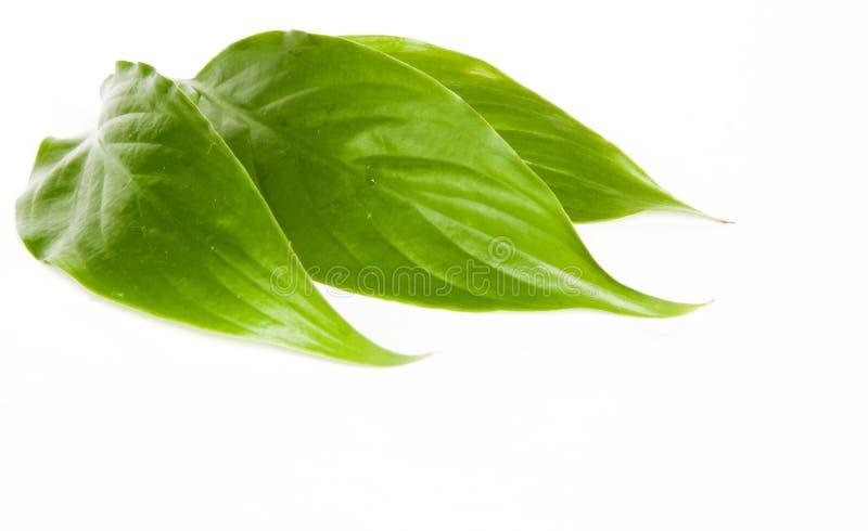 Groene bladeren stock foto