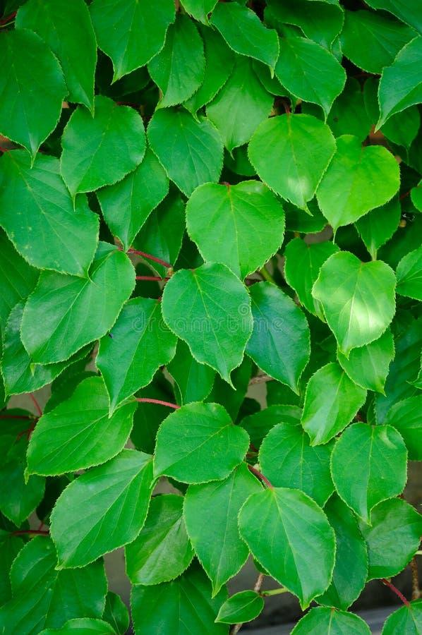 Groene Actinidia-bladeren Gratis Stock Afbeeldingen
