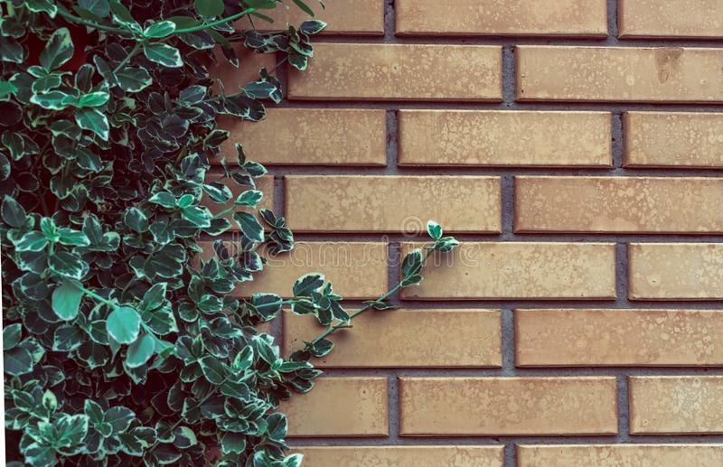 Groene bladeren als achtergrond op een bakstenen muur Installaties op steen met exemplaarruimte stock foto's