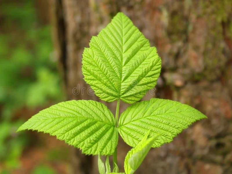 Groene bladeren in de lente in royalty-vrije stock foto