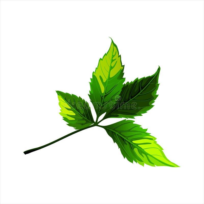 Groene bladeren die op witte achtergrond worden geïsoleerd stock foto's