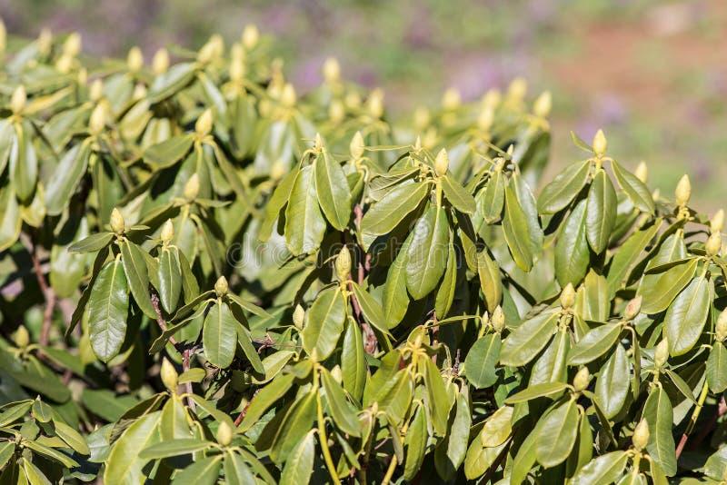 Groene bladeren en knoppen stock afbeeldingen