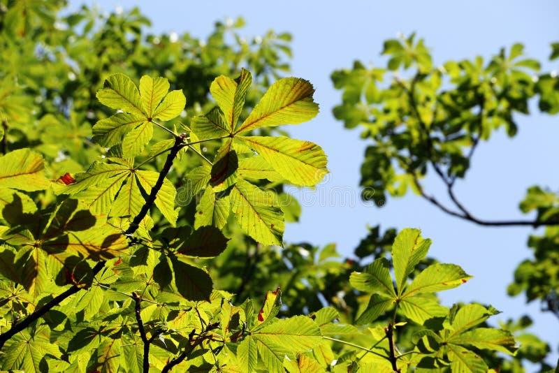 Groene bladeren en takken van paardekastanje royalty-vrije stock afbeeldingen
