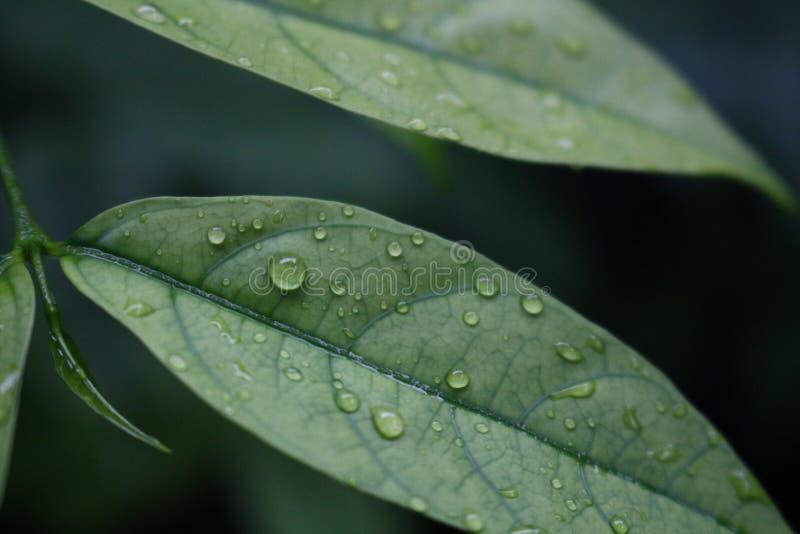 Groene bladeren met dauw stock afbeelding