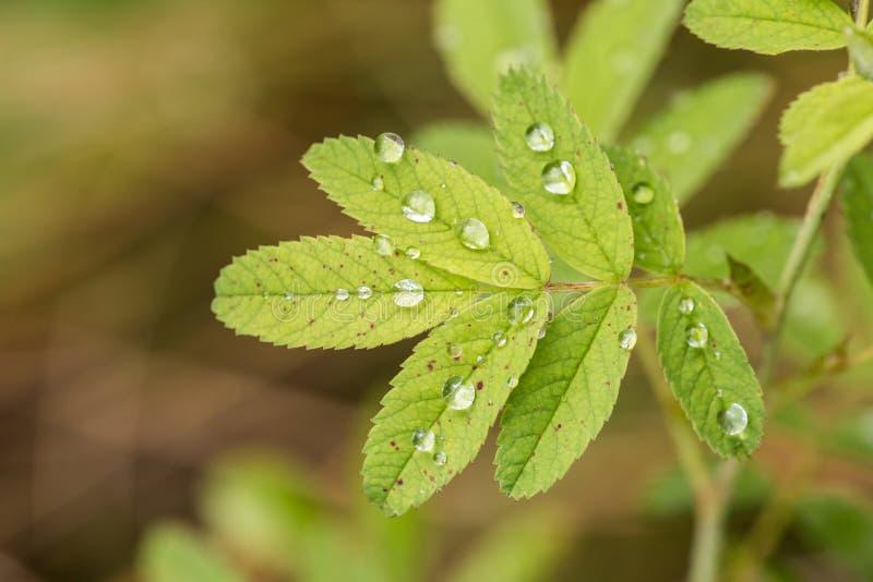 Groene bladeren met regendalingen stock fotografie