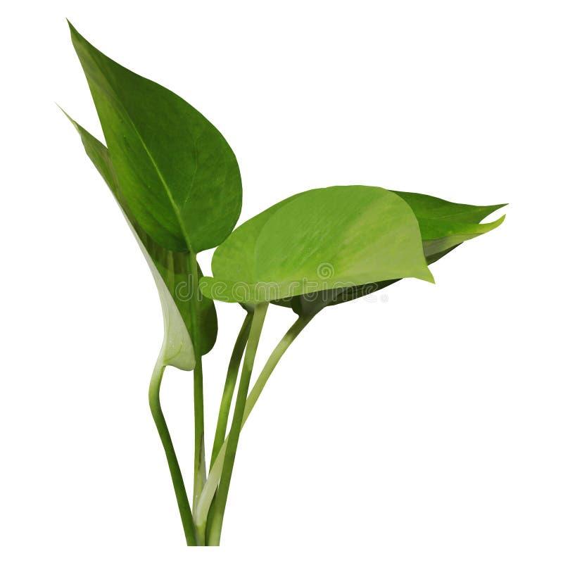 Groene bladeren met witte achtergrond royalty-vrije stock fotografie