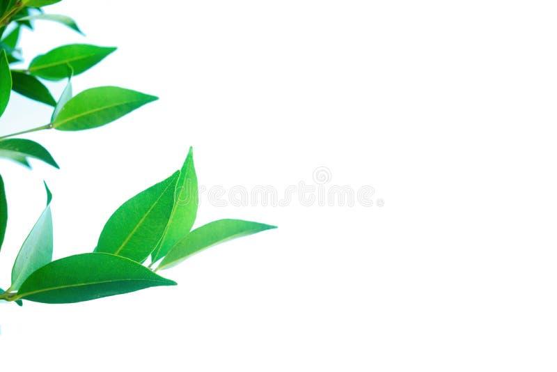 Groene bladeren op een witte achtergrond royalty-vrije stock foto's