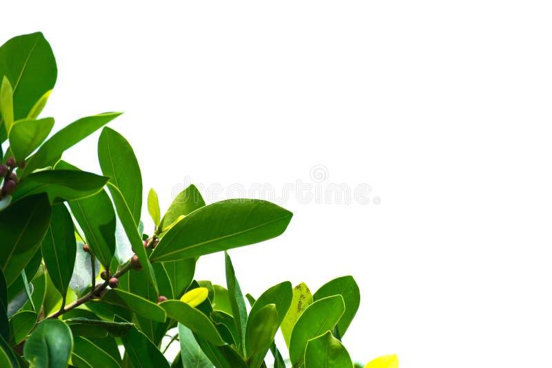 Groene bladeren op een witte achtergrond die behang of achtergronden voor meer tekst op een beeld gebruiken stock afbeelding