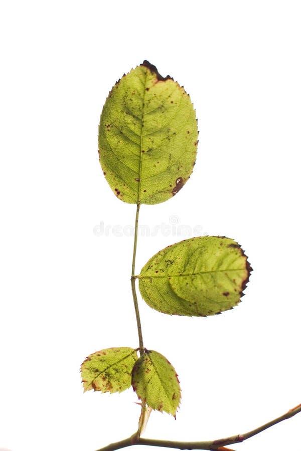 Groene Bladeren Op Wit Royalty-vrije Stock Fotografie