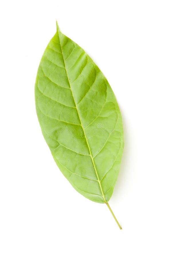 Groene Bladeren op Wit royalty-vrije stock foto's