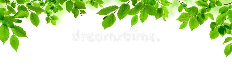 Groene bladeren op wit als brede grens stock afbeelding