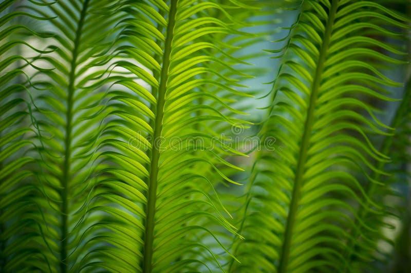 Groene bladeren van datumboom royalty-vrije stock afbeelding