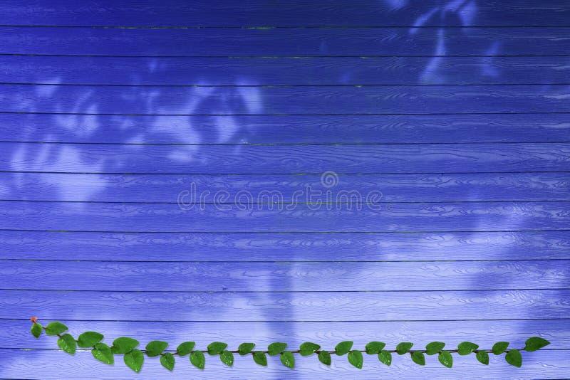 groene bladeren van de Mexicaanse grens van de madeliefjeaard en schaduwboom op blauw hout stock foto
