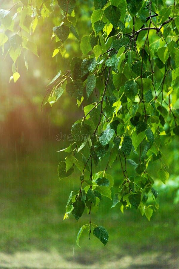 Groene bladeren van een berk in de regen bij dageraad royalty-vrije stock foto's