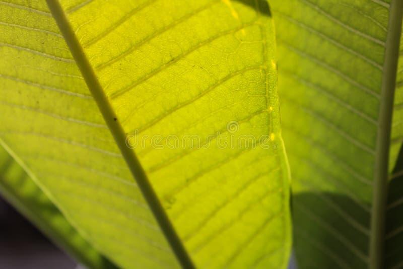 Groene bladeren van een rubberplant stock foto's