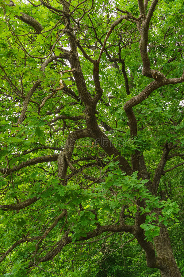 Groene bladeren van eiken boom stock afbeelding