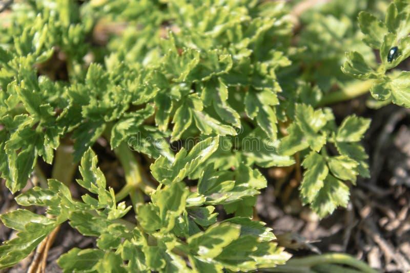 Groene bladeren van jonge peterselie in de lente Achtergrond met peterseliebladeren stock foto