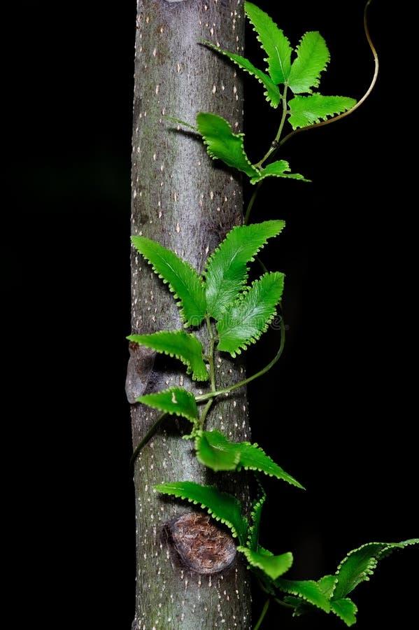 Groene bladeren van klimplantinstallatie op boom stock afbeeldingen