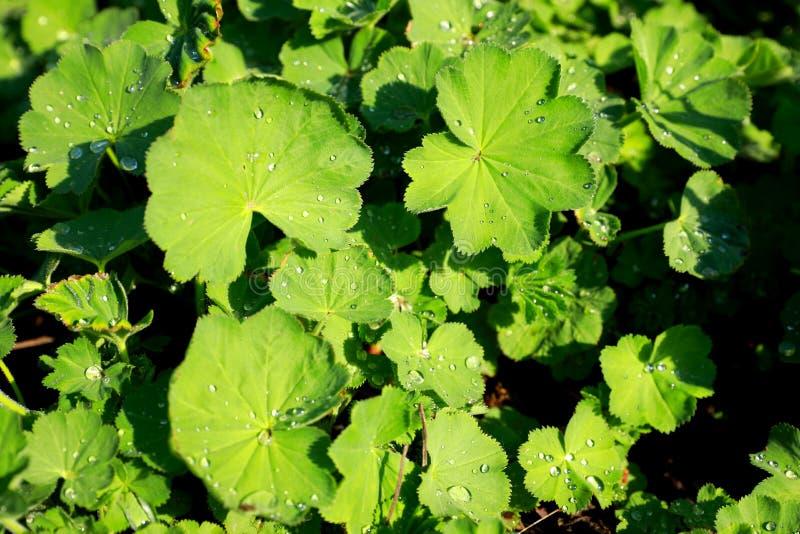 Groene bladeren van lady'smantel of alchemilla royalty-vrije stock fotografie