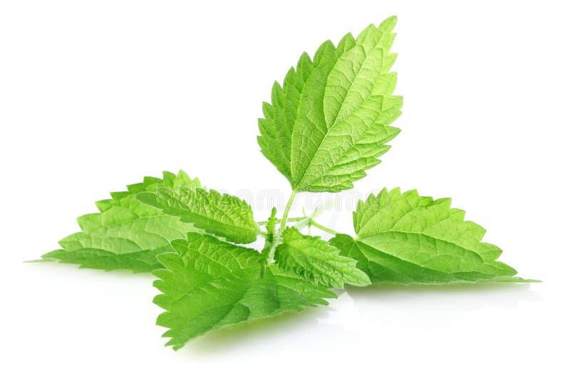 Groene bladeren van netel stock foto
