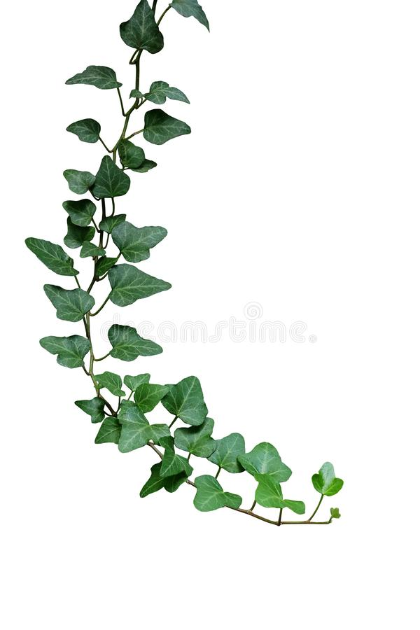 Groene bladerenklimop het beklimmen wijnstok, hangende tak van ingemaakte I stock foto