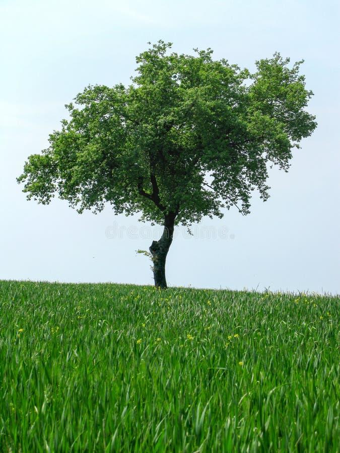 Groene bladerenolijfboom op bovenkant een heuvel op een groene weide stock fotografie