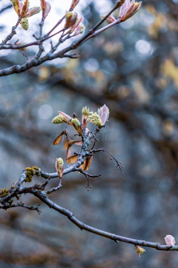 Groene bladknoppen in de lente op boom stock foto