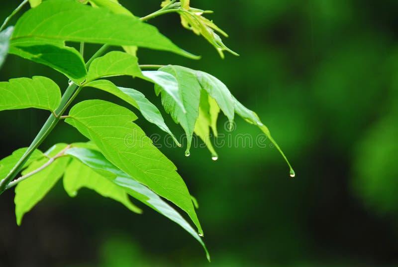 Groene bladregen stock foto