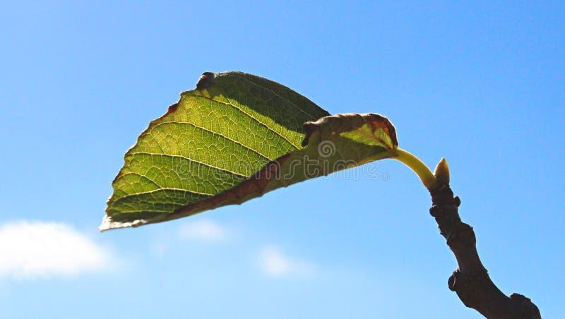 Groene bladspruit op een boomtak tegen een blauwe hemel royalty-vrije stock fotografie