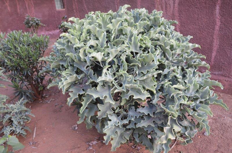 Groene bloem, Kenia stock afbeelding