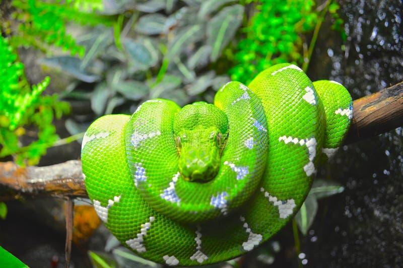 Groene boa stock afbeelding
