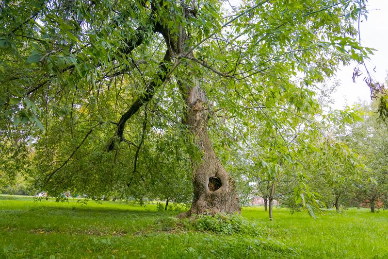 Groene Bochtige Bomen in het Park stock fotografie