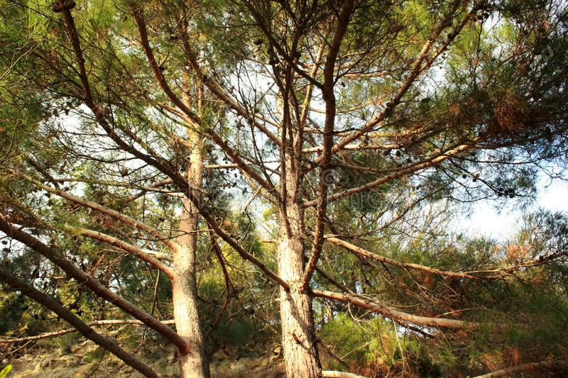 groene bomen, naaldbomen, zeldzame installaties, pijnboom, aard van de Krim royalty-vrije stock fotografie