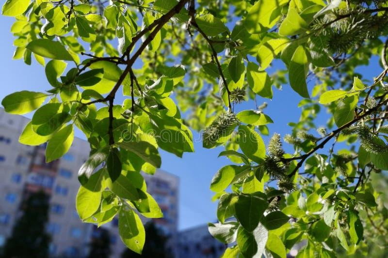 Groene bomen, takken met bladeren in de yard van een huis in een stad in Siberië Knippend inbegrepen weg stock foto's