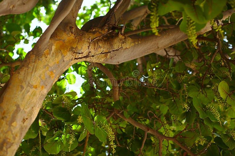 Groene boom, bladtextuur, aard Tenerife stock afbeelding