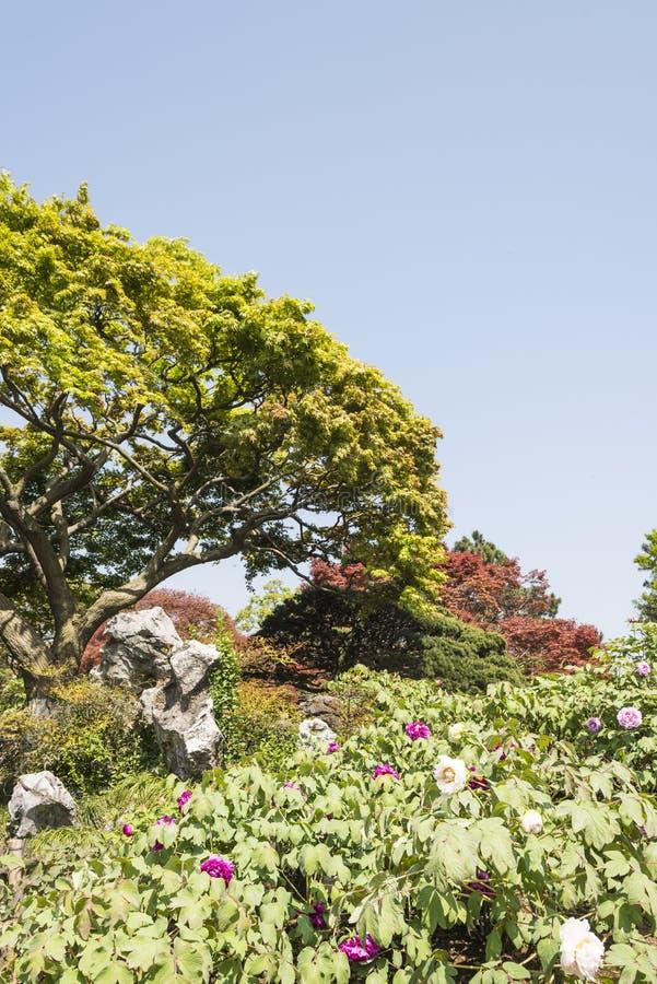 Groene boom en pioen royalty-vrije stock afbeeldingen