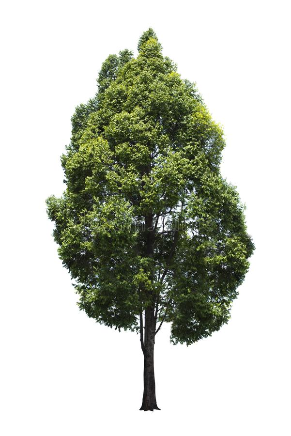 Groene boom, mooie witte achtergrond Mooie uitbundigheid stock illustratie