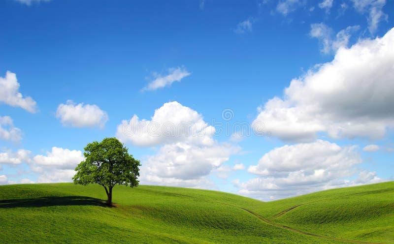 Groene boom op het gebied stock afbeeldingen