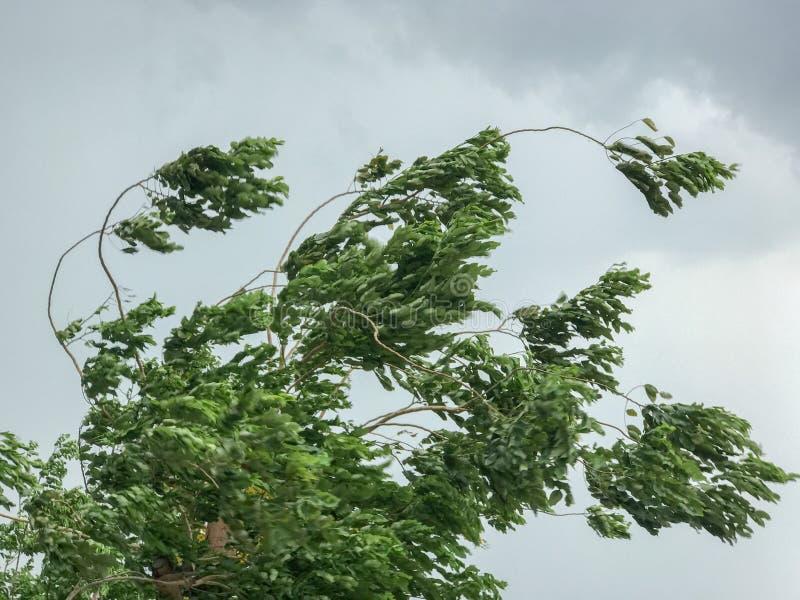 Groene Boom tijdens zware wind stock fotografie