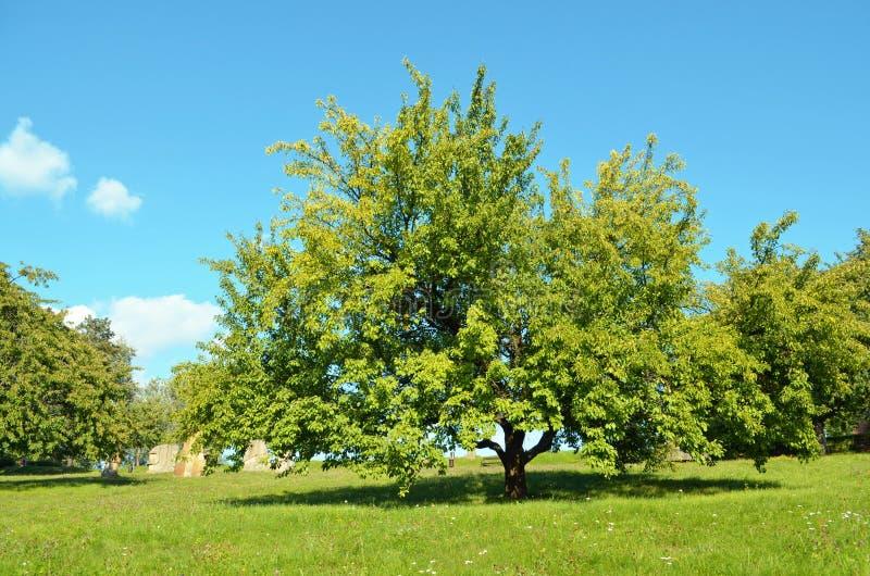 Groene boom - Zonnige de zomerdag in beeldhouwwerkpark - Horice stock foto