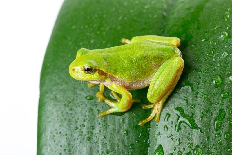Groene boomkikker op het blad stock foto