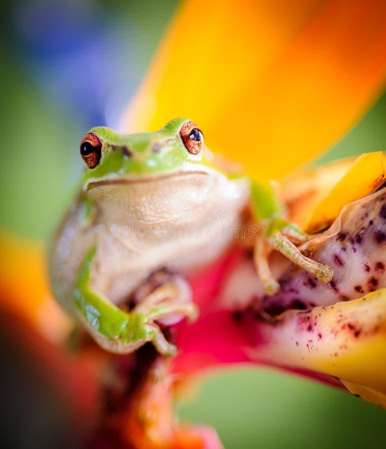 Groene boomkikker op paradijsvogel bloem 2 stock afbeeldingen