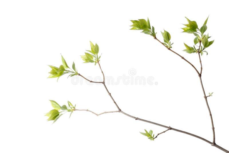 Groene boomtak stock afbeeldingen