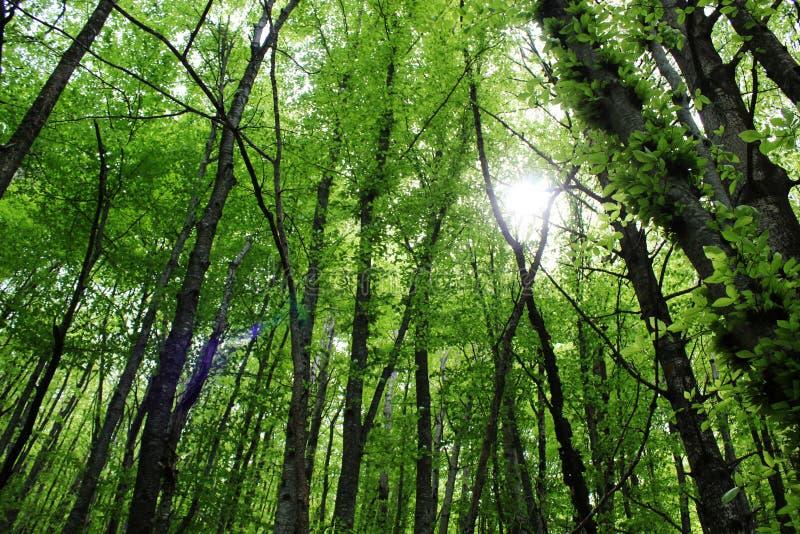 Groene bos, lange bomen stock foto