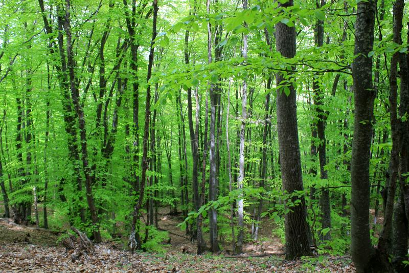 Groene bos, lange bomen royalty-vrije stock afbeelding