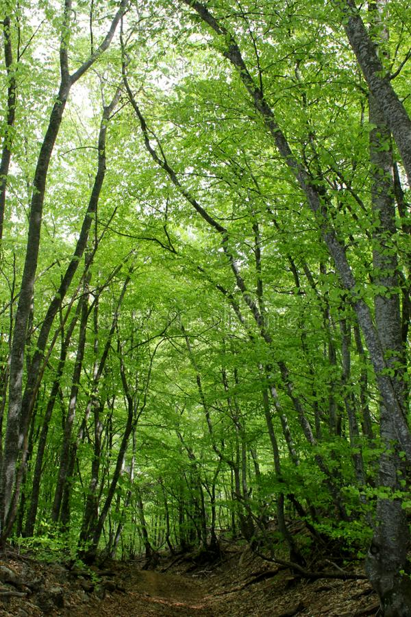 Groene bos, lange bomen royalty-vrije stock fotografie