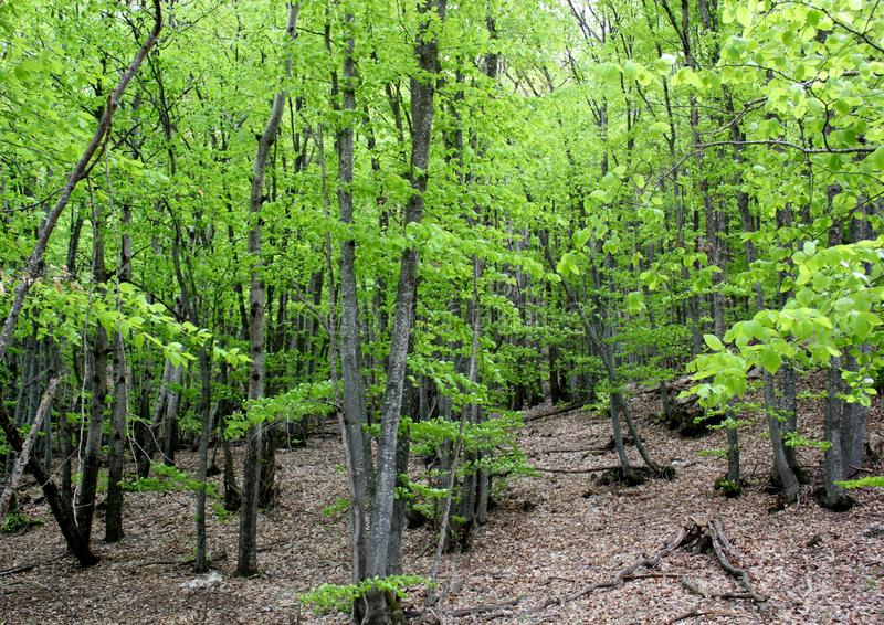 Groene bos, lange bomen royalty-vrije stock foto's
